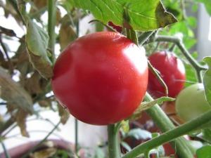 tomato-510647_640